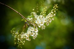Spring greeting card, blossom bird cherry. Close-up of a turtle. Branch, brightly lit against the sky. Flowering bird-cherry tree . bird cherry flowers in sunny Stock Image