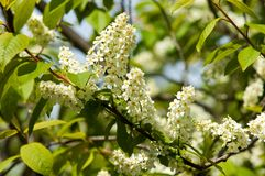 Spring greeting card, blossom bird cherry. Close-up of a turtle. Branch, brightly lit against the sky. Flowering bird-cherry tree . bird cherry flowers in sunny Royalty Free Stock Images
