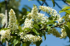 Spring greeting card, blossom bird cherry. Close-up of a turtle. Branch, brightly lit against the sky. Flowering bird-cherry tree . bird cherry flowers in sunny Stock Images