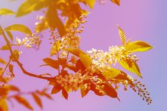 Spring greeting card, blossom bird cherry. Close-up of a turtle. Branch, brightly lit against the sky. Flowering bird-cherry tree . bird cherry flowers in sunny Royalty Free Stock Photos