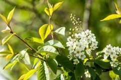Spring greeting card, blossom bird cherry. Close-up of a turtle. Branch, brightly lit against the sky. Flowering bird-cherry tree . bird cherry flowers in sunny Stock Photography