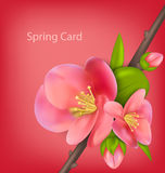 Spring greeting card with branch of Japanese Quince (Chaenomeles Royalty Free Stock Photos