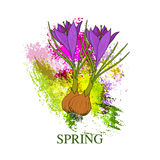 Spring greeting card with crocus flower Royalty Free Stock Photo