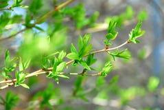 Spring groene bladeren op Royalty-vrije Stock Afbeeldingen