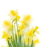 Spring growing daffodil flowers  close up Royalty Free Stock Photos