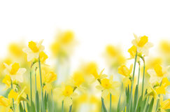 Spring growing daffodils Royalty Free Stock Images