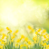 Spring growing daffodils in garden Stock Image