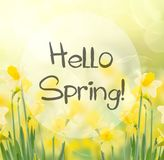Spring growing daffodils in garden. With hello spring greetings Royalty Free Stock Image