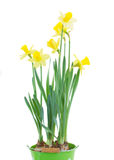Spring growing daffodils Stock Photos