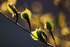 Spring growing leaves Stock Photo