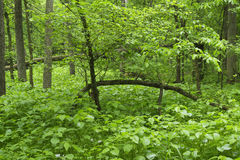 Spring growth in forest. Stock Image