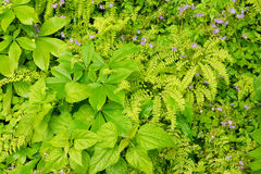 Spring growth of ground cover. Stock Photography