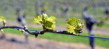 Spring Growth on Sauvignon Blanc Vines in Marlborough, New Zeala. Closeup view of early Spring leaves and buds growth on Sauvignon Blanc Vines in Marlborough Royalty Free Stock Photo
