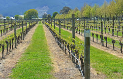 Spring Growth on Sauvignon Blanc Vines in Marlborough, New Zeala. Spring Growth on mature Sauvignon Blanc Grape Vines in the Wariau Valley, Marlborough, New Royalty Free Stock Image