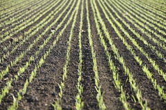 Spring growth in wheat paddock Royalty Free Stock Photos