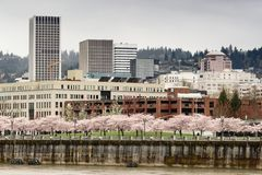 Cherry Blossoms Bloom in Park on the Willamette River Waterfront Portland Oregon stock images