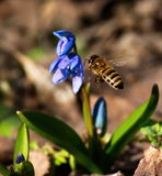 Spring has come. Bee collects nectar from the first spring flower Royalty Free Stock Photos