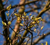 Spring has come. Branches with many buds. royalty free stock image
