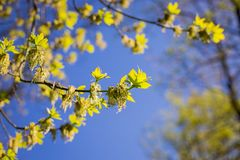 Spring has come, the first green. Nature wakes up. Dissolve the first leaves on the branches. Green house on the windowsill. Warm royalty free stock photos