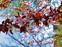 Spring. The trees are blooming. royalty free stock images