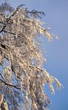 Weighted boughs turn down from latest nor easter snowfall royalty free stock photos
