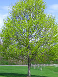 Spring Has Sprung. Beautiful tree with spring blooms in park setting stock photos