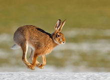 Spring has sprung. March hare dashing through spring snow Royalty Free Stock Images