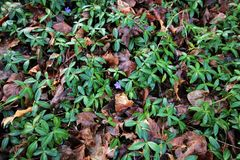 Spring has sprung. Ivy ground cover and flowers blooming from beneath dead fallen leaves of the last season Royalty Free Stock Image