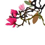Spring has sprung, the Magnolia tree dazzles with its vibrant, velvety flowers. A vibrant branch of Magnolia tree with flowers, vector illustration Royalty Free Illustration