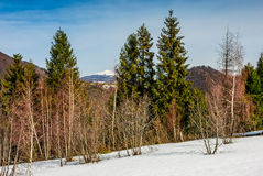 Spring has sprung in mountain forest. Spruce trees on a meadow covered with snow. mountain with snowy peak in the distance. springtime landscape on sunny day Stock Image
