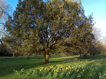 Spring has sprung in this picturesque image of a mature oak tree with daffodils in the foreground. A beautiful and mature oak tree surrounded by bright yellow stock image