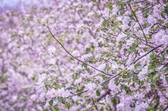 Spring has sprung!. Pink and purple flowers blossoms in orchard at Spring time Royalty Free Stock Photos