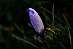 Spring has sprung. Purple flower shooting up through the ground Stock Photography