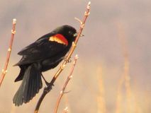 Spring has sprung. Red wing black Bird in the marsh Royalty Free Stock Photo