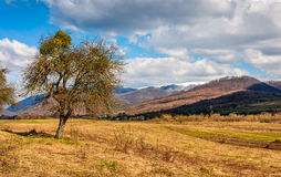 Spring has sprung in rural area. Tree on agricultural field with yellow weathered grass. snowy peaks of mountain ridge in the distance. nature on sunny day Stock Images