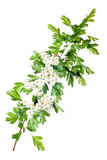 Spring hawthorn blossom Royalty Free Stock Photo