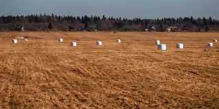 Spring hay fields. Part of the hay in the rolls. Remained unused. Northern farmlands, animal husbandry stock image