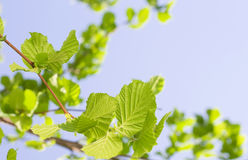 Spring Hazel or Elm leaves. Over blue sky stock images