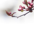 Spring header with buds and tiny spider. Royalty Free Stock Photos