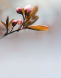 Spring header with pink buds. Royalty Free Stock Images