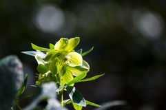 Spring Hellebore flowers in the sunshine blurry Stock Photos