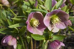 Spring Hellebore and Ladybird royalty free stock images