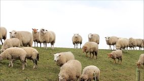 Spring, herd of white sheep on dike stock video footage