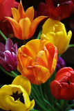 Spring is Here. Tulips in bloom from Skagit Valley Washington royalty free stock photography