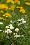 Spring is here!. Daisys and Dandelion Royalty Free Stock Images