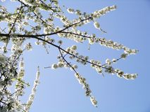 Spring tree branches with flowers Stock Image