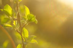 Spring is here. Bright rays of the setting sun on the background of blurred first greens with bright artifacts. Nature wakes up, d. Issolve the first leaves on Stock Photos