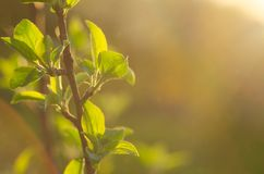 Spring is here. Bright rays of the setting sun on the background of blurred first greens with bright artifacts. Nature wakes up, d. Issolve the first leaves on Royalty Free Stock Image