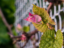 Spring is here, the grape vines are blooming Stock Image