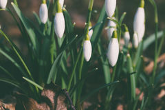 Spring is here with snowdrops Royalty Free Stock Photo